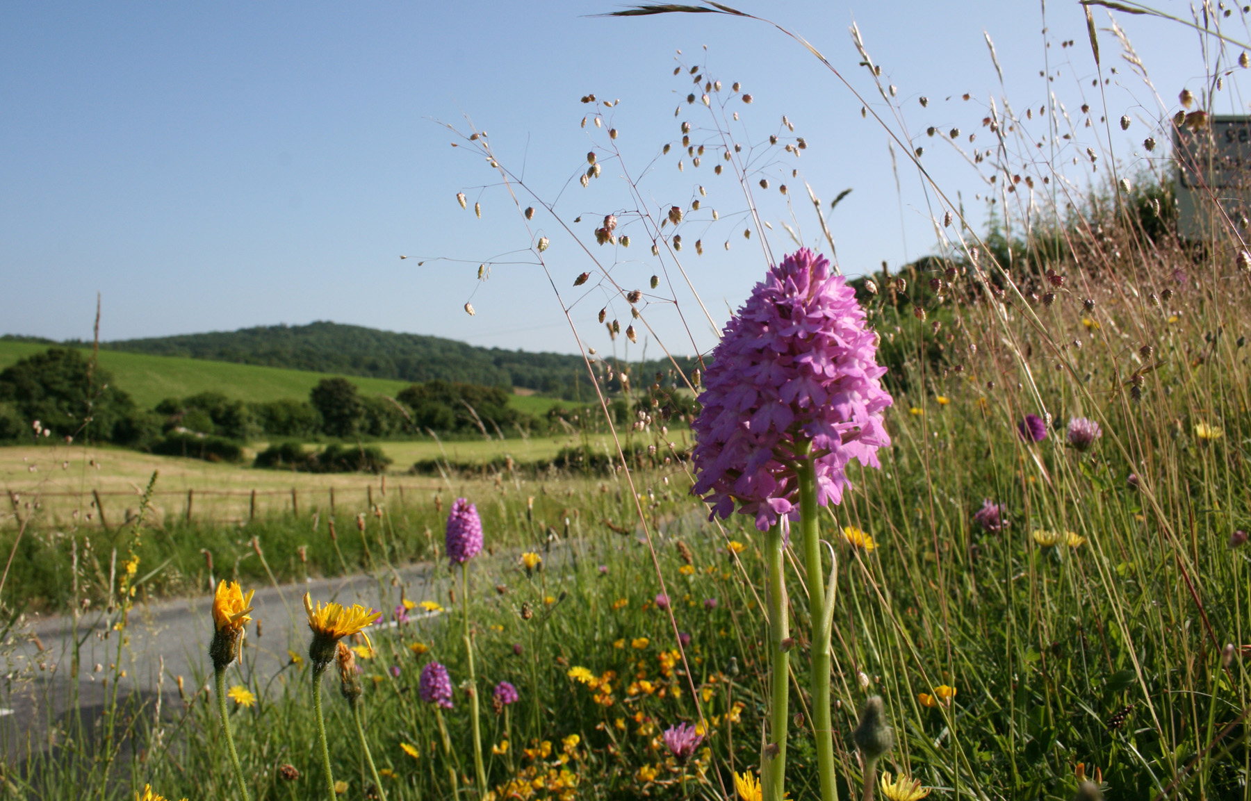 Pyramid orchid on road verge