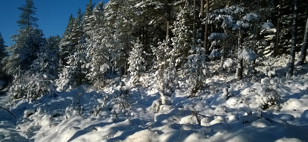 Snow on trees in the Cairngorms