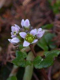 Danish-scurvy-grass-(c)-Tico-under-Creative-Commons-BY-NC-ND.jpg