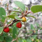 Great Orme Berry