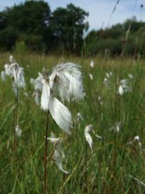Cotton-grass-Eriophorum-ang.jpg