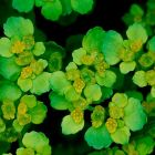 Opposite-leaved golden saxifrage