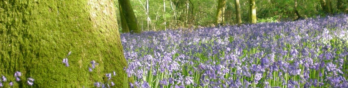 Cotswold bluebells © Beth Newman-Plantlife.jpg