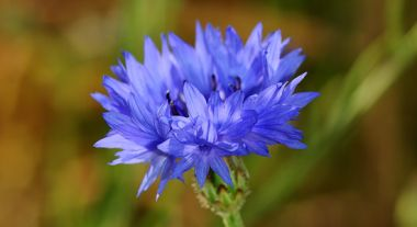 2.-Cornflower-c-Lliam-Rooney_.jpg
