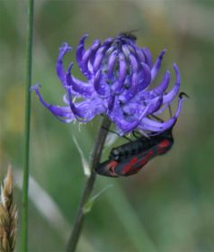 Round-headed-rampion.jpg
