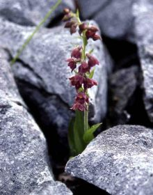 Dark-red-helleborine-(c)-Ja.jpg