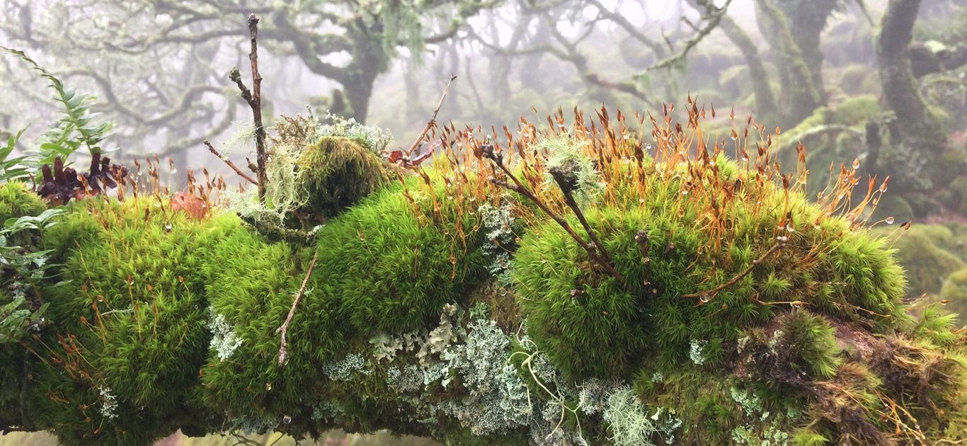 Lichens-n-mosses-WistmansWood-980x452.jpg