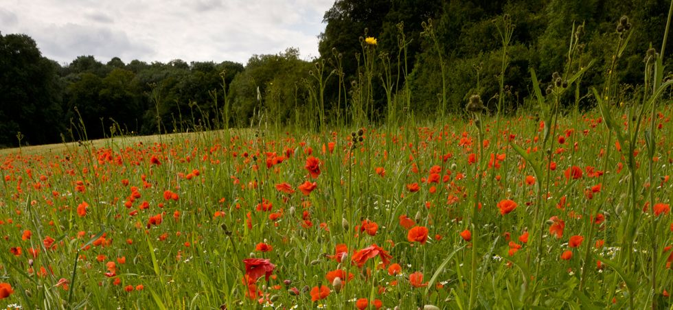 Poppies at Ranscombe