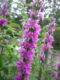 Purple-loosestrife---lythru.jpg