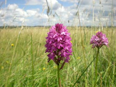 (38)Pyramidal_orchid_-_Martin_Down_-_(c)_Beth_Newman_1_lo-res.jpg