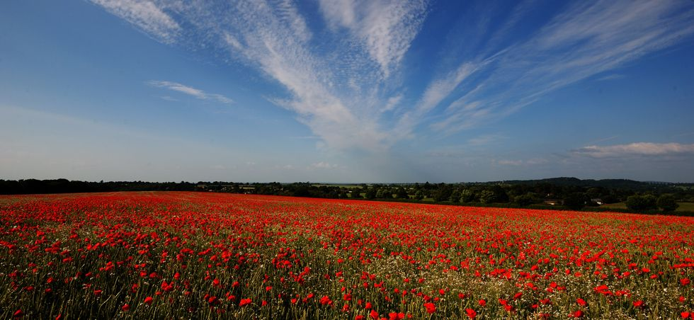 Poppy-field-c-Danny-Beath-980x452.jpg