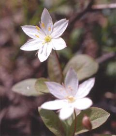 Chickweed-wintergreen-(c)-A.jpg