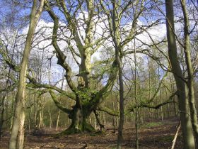 Ancient-pollarded-beech-savernake (c) Cheesby under Creative Commons.JPG