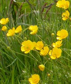 Meadow-buttercup-Ray-Woods.jpg