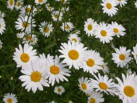 Oxeye-or-dog-daisy-154-%28c%29-.jpg