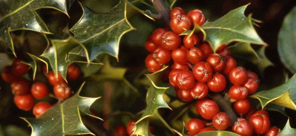 Plantlife 5 Festive Facts About Holly