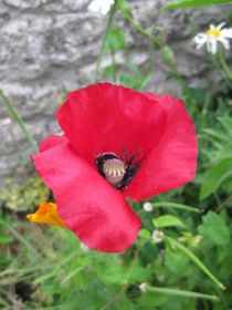Common-poppy-(c)-Katie-Gard.jpg