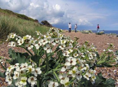 Sea-Kale-(c)-Chris-and-Alis.jpg