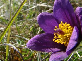 Pasqueflower-KatherineRyan-980x516.jpg