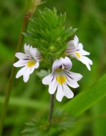 Eyebright-c-TrevorDines.jpg