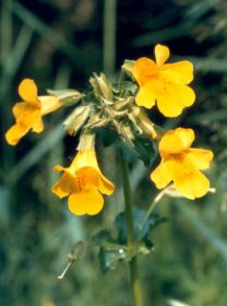 monkeyflower-(c)-nick-stewa.jpg