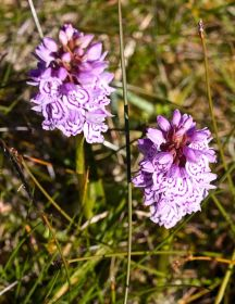 Hebridean-spotted-orchis-(c.jpg
