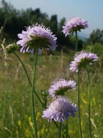 Field-scabious-(c)-Andrew-Gagg-Plantlife-P6277847.jpg